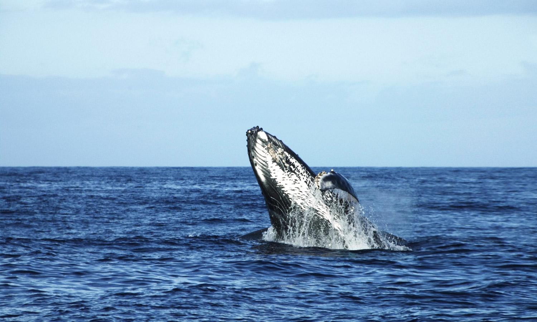 fafa island whale watching